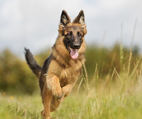 German-Shepherd-study-reveals-health-consequences-of-breeding