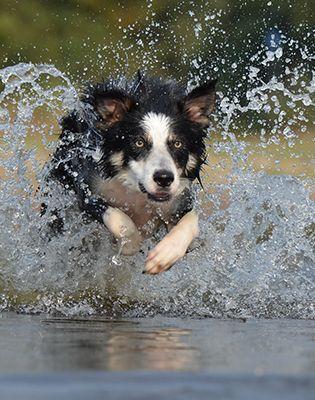 animal-border-collie-dog-37860
