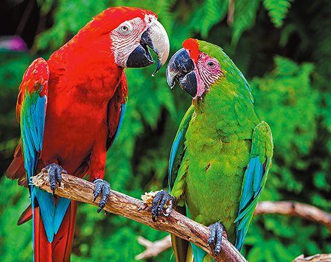sd-cm-plob-peninsula-parrots-20190220